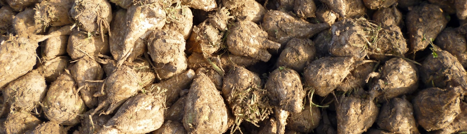 Barbabietorla Sugar beets